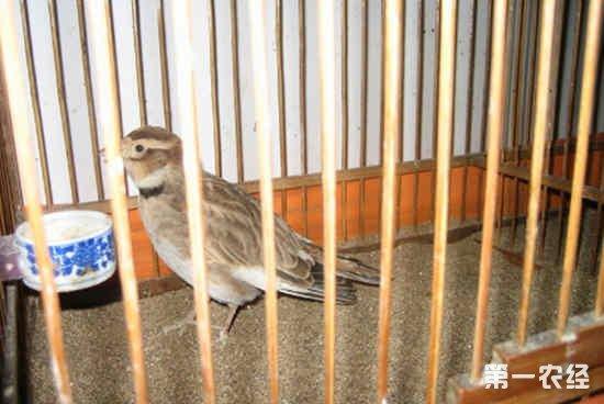 百灵鸟训练过程中常出现的一些毛病及纠正方法