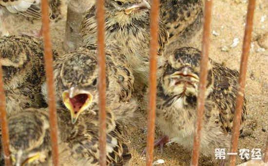 """百灵鸟雏鸟的雌雄辨别方法:通过""""舌花""""区分公母"""