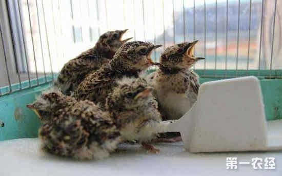 百灵鸟怎么从雏鸟开始饲养?百灵鸟雏鸟饲养方法