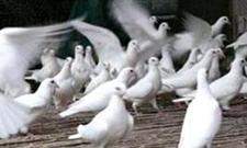 特色养殖:养鸽19年勤劳造就财富路