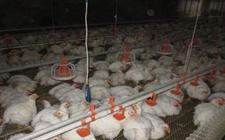 <b>怎样做好阴雨天肉鸡饲养管理工作?阴雨天肉鸡饲养管理应急措施</b>