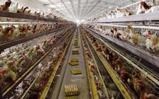 <b>怎样进行优劣蛋鸡的挑选?秋季蛋鸡优劣淘汰法</b>
