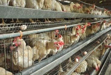 <b>蛋鸡养殖中应该注意是什么?养好蛋鸡把住六关!</b>