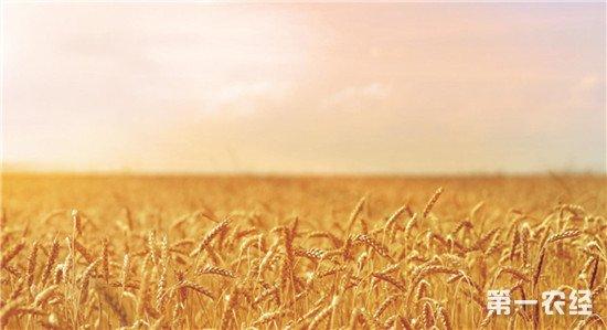中国科研团队完成小麦A组基因测序 为小麦品种改良奠定基础