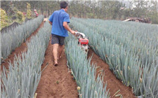 大葱怎么施肥?大葱高产施肥技术
