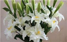 百合花开花后如何处理?百合花开花后的养护方法