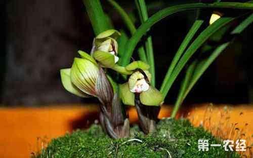 为什么兰花发芽那么慢?让兰花多发芽快发壮芽的几个小技巧