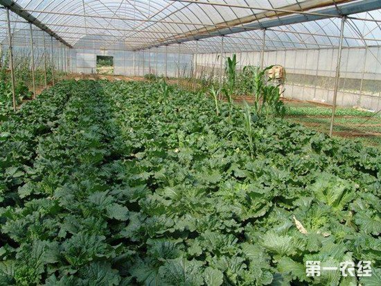大棚蔬菜为什么要施钙肥?蔬菜钙肥施用方法