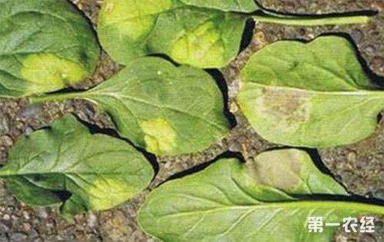 菠菜灰霉病用什么药治?菠菜灰霉病的防治方法