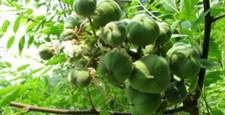 种文冠果一年种百年收长期增收有保障致富在眼前