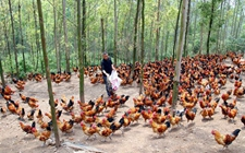 <b>养鸡技术:谈谈光色对鸡群的影响,养鸡中的光色禁忌</b>