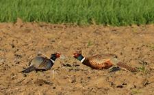 <b>怎样进行野鸡养殖?野鸡不同时期的饲养管理</b>
