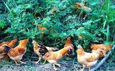 <b>怎样在山地放养鸡?山地放养鸡养殖技术</b>