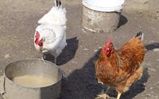 <b>怎样回收鸡水槽内的饲料?鸡水槽内饲料回收方法</b>
