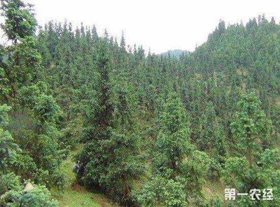 福建省杉木产业及育种水平居国内领先地位