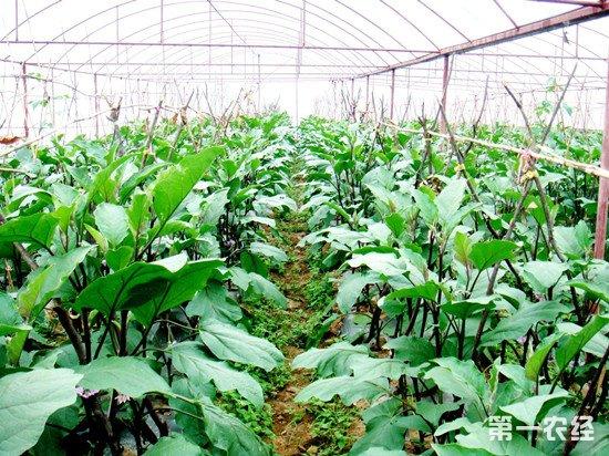 大棚茄子怎么施肥?大棚茄子高产施肥技术