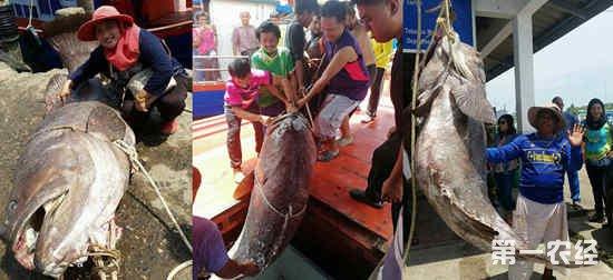 泰国一渔夫钓到一条400斤深海野生巨石斑鱼