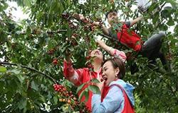 种植车厘子办采摘园致富增收靠小果儿
