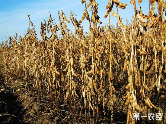 以科技助产业 黑龙江大豆示范地增产显著