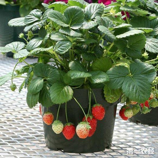 盆栽草莓怎么养才能丰收?盆栽草莓养护要点