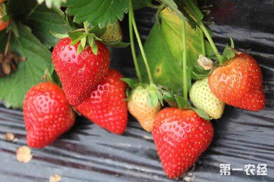 盆栽草莓怎么养才能丰收?