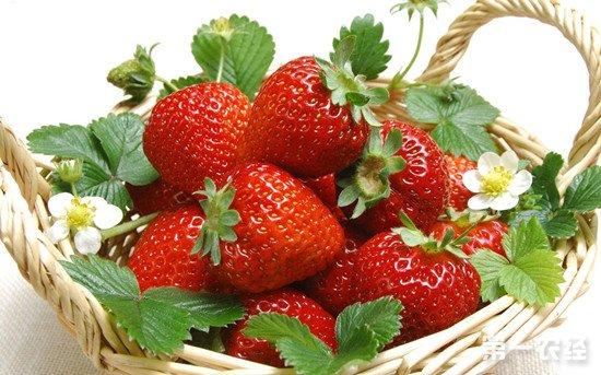 盆栽草莓养护要点