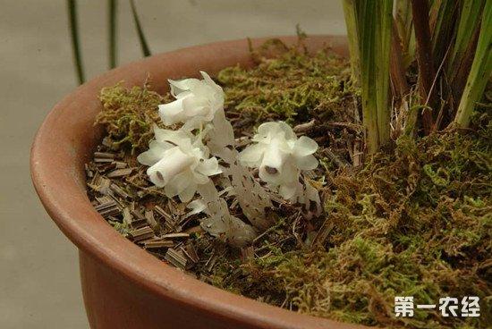 水晶兰的生长习性和养殖方法