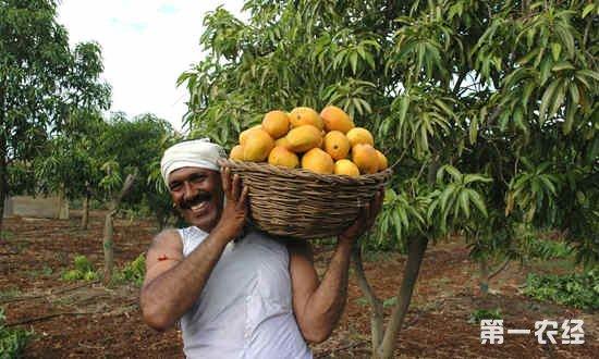 印度芒果出口开拓海外市场 出口欧盟的芒果量或将翻番