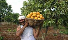 <b>印度芒果出口开拓海外市场 出口欧盟的芒果量或将翻番</b>