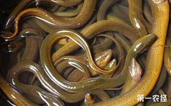 鳝鱼雌雄怎样区分?雌雄黄鳝的辨别方法介绍