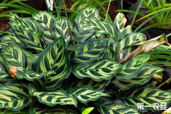 怎么才能养好孔雀竹芋?孔雀竹芋的生长习性和养护方法