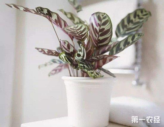 孔雀竹芋叶子枯萎的原因和解决方法