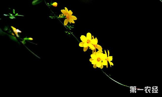 迎春花的生长习性和养护技巧