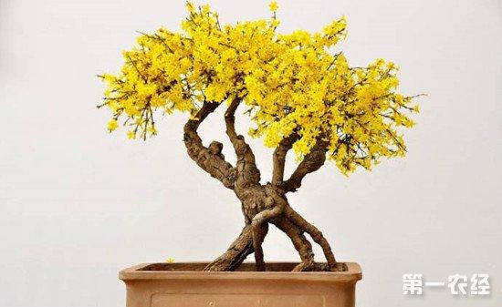 迎春花怎么养?迎春花的生长习性和养护技巧