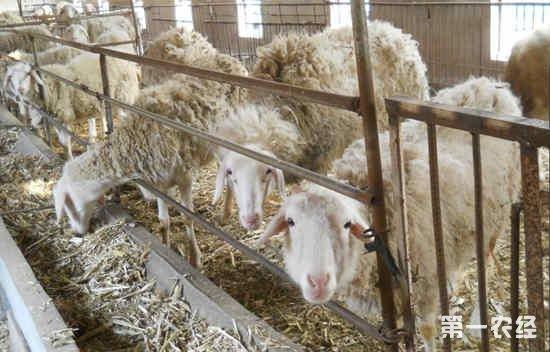 养羊是喂干饲料好,还是喂湿饲料好?羊群干喂和湿喂的优缺点