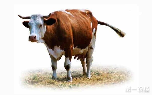 牛群常受哪些蚊虫侵扰?养牛怎么防控蝇虫?