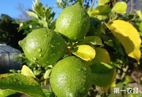 柠檬树叶子发黄的解决方法