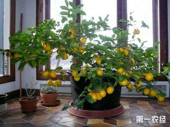 柠檬树叶子发黄怎么办?柠檬树叶子发黄的解决方法