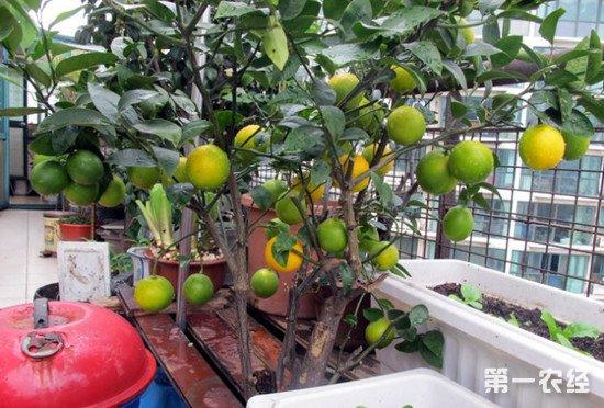 柠檬盆栽怎么养?柠檬盆栽养护注意事项