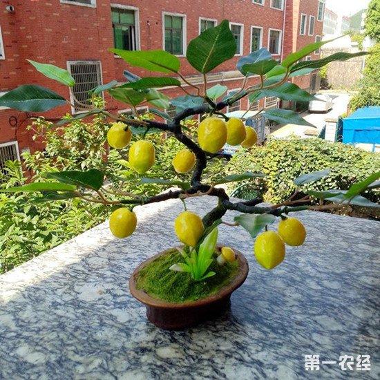 柠檬盆栽怎么养?