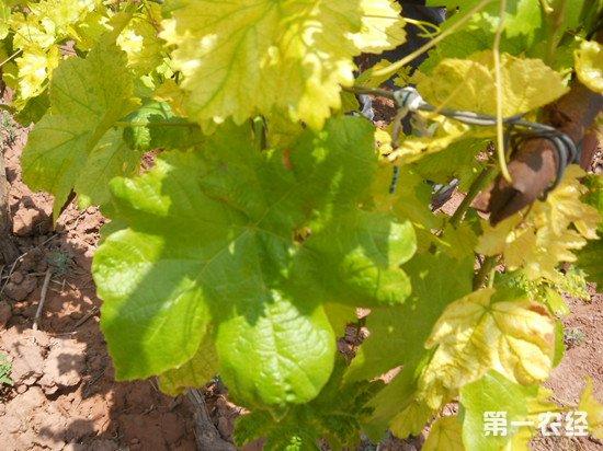 葡萄叶子发黄的原因和解决方法