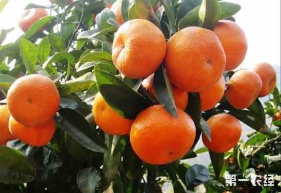 摩洛哥增加柑橘种植 菲律宾旨在大蒜产量