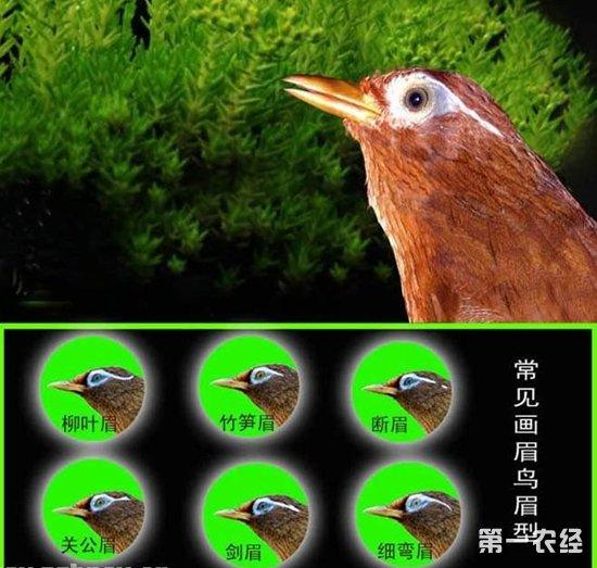 画眉鸟的眉型和眼型有哪些?画眉鸟的眉眼识别图鉴