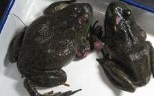 牛蛙腐皮病怎么办?牛蛙腐皮病的预防与治疗