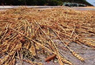 河南:夏粮准备进入收割期 有望取得好收成