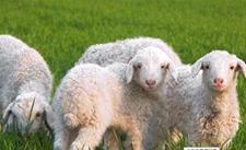 羊饲料干喂和湿喂哪种比较好?羊饲料干喂和湿喂有什么优缺点
