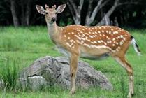 特色养殖养梅花鹿走不一样的致富路