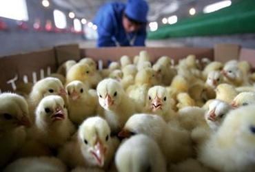 怎样做好鸡苗的管理?鸡苗管理方法介绍
