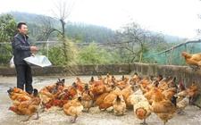 怎样正确喂鸡?肉鸡间隔饲喂方法
