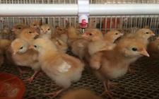 <b>如何提高肉鸡7日龄体重?提高肉雏鸡体重的方法</b>